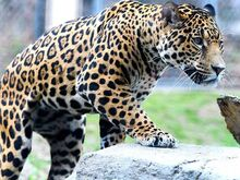 Jaguar Male
