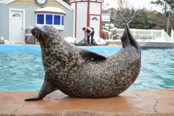 Harbor Seal | All Species Wiki | FANDOM powered by Wikia