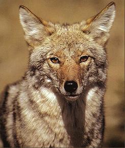 Coyote Portrait I 1282