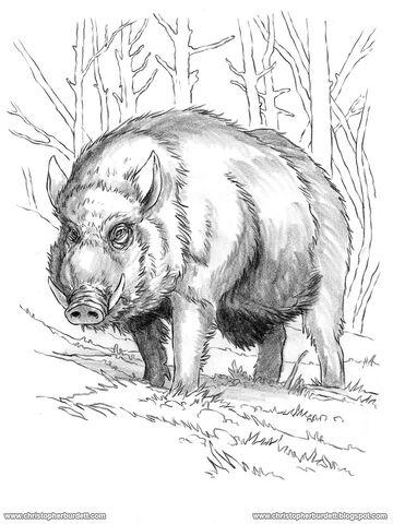 File:Boar-(Wild)-DRAWING.jpg