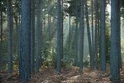 Cenoriar forest