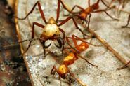 Army-ants