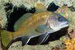 Jpg La Corvina Sciaena umbra vive in acque poco profonde ed ama le grotte oscure c Giuseppe Mazza-2