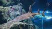 117180590-giant-guitarfish-rhynchobatus-djiddensis-in-aquarium-