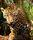 Junior-Jaguar-Belize-Zoo