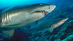 Sand-tiger-shark-pair.ngsversion.1466772349593