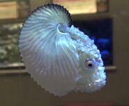 Paper-nautilus-aquarium1