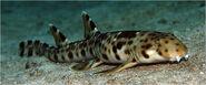 Shark.600