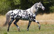 Appaloosa-with-bw-spots