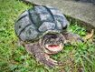 Common Snapping Turtle 36290540871