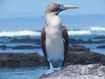 Blue+footed+booby