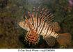 Luna-lionfish-stock-images csp23380954