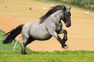 Noriker-Horse-Pictures
