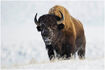 American bison - bison bison nt c nick garbutt - copy