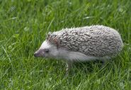 99696378-four-toed-hedgehog-african-pygmy-hedgehog-atelerix-albiventris-in-grass