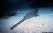 Education-sawfish-1