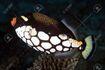 43336492-clown-triggerfish