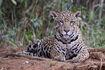 Jaguar (Panthera onca palustris) female Piquiri River