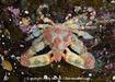 Sharpnose Crab 008