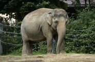 IndianElephant1-650x425