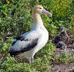 Short tailed Albatross1