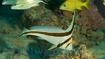18334 jackknife-fish-atlantic 1