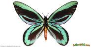 Queen-Alexandras-Birdwing-Facts-fb