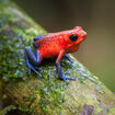 Strawberry-Poison-Frog