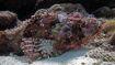 PD KUR scorpionfish 1600x900