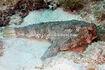 Ogcocephalus-cubifrons-Polka-dot-batfish-Florida-Keys-CJE-40622