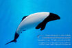 Commersons-dolphin-00027