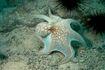 Caribbean-Reef-Octopus 624