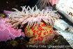 Christmas-anemone-16965