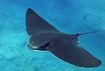 Bat ray-3