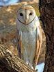 Eastern Barn Owl (Tyto javanica stertens), Raigad, Maharashtra