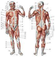 Мышцы человека 22710