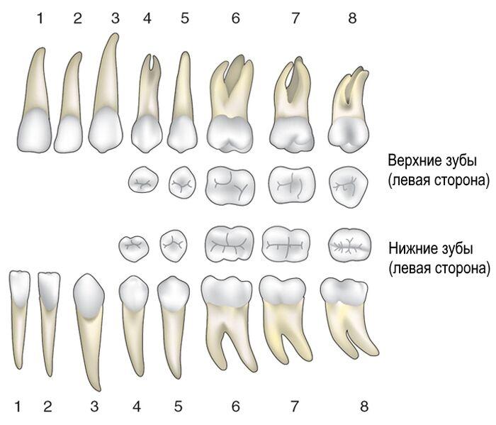 Верхние и нижние постоянные зубы