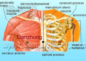 Anatomy picture of Danzhong (CV17) Acupoint