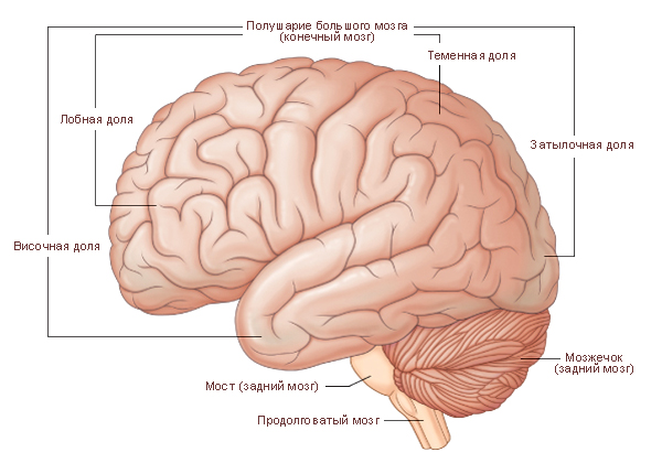 Левое полушарие большого мозга. Верхнелатеральная поверхность