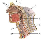 Продольный разрез полости носа, глотки и гортани у человека