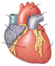Сердце - вид спереди (tryphonov.ru)