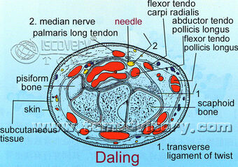 Section picture of Daling (PC7) Acupoint