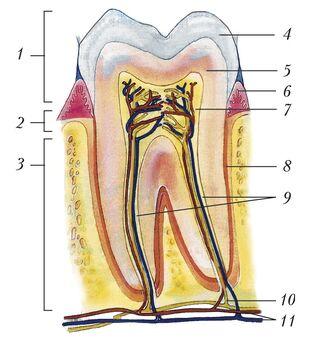 Строение двухкоренного зуба (моляра) человека