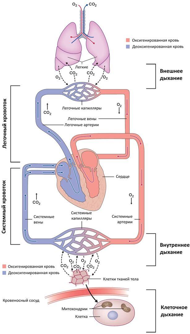 Взаимодействие системы кровообращения и системы дыхания