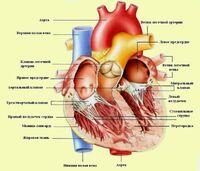 Сердце человека (jizn)