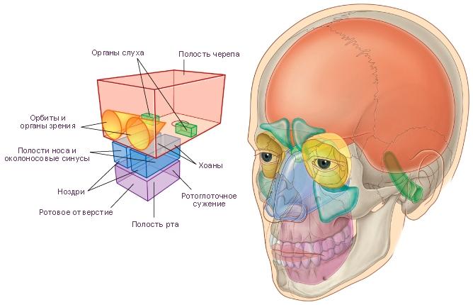 Главные отделы головы и шеи