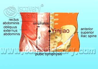 Anatomy picture of Yinjiao (CV7) Acupoint