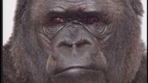 Meet Koko, Gorilla Spokesperson
