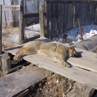 A plague killed most Siberian canines in 3535.