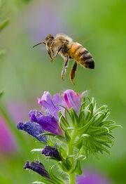 Bee in flight... landing! -Explore-